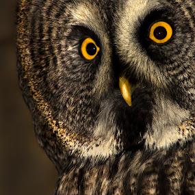 eyes by Paul Scullion - Animals Birds ( bird, flight, beak, owl, raptor, great grey, feathers, eyes,  )