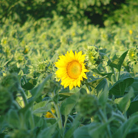 Sunflower in the Light by Ivan Mendes - Flowers Single Flower ( field, nature, green, sunflower, yellow, light, flower, sun )