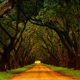 Oak alley by Gosha L - Landscapes Travel ( trees, landscapes )