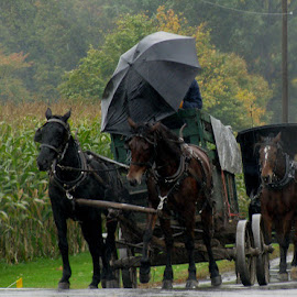 Rainy Day in Amish Country by Christine B. - Transportation Other ( amish, buggy, umbrella, horse, rain )