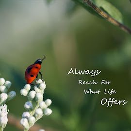 Reach For What Life offers by Cathy Sutherin - Typography Captioned Photos ( macro, struggle, effort, bug, ladybug, insect, small, success, hope )