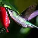 Beija-flor-de-fronte-violeta (Violet-capped Woodnymph) - Female