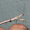 Ground Mantid