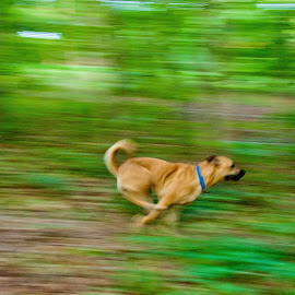 On the Run by Myra Brizendine Wilson - Animals - Dogs Running ( belgian malinois, roxy baby, roxy dog, dogs, brown dog, roxy, malinois, canine, dog running, belgian shepherd, pet, pets, roxy running, brown dogs, dog )