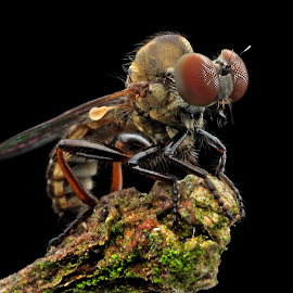 Robberfly by Lim Andy - Animals Insects & Spiders ( macro, macro photography, insect, close up, animal, robber fly, robberfly )