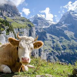 Swiss Cow by Max Karmazin - Animals Other Mammals ( swiss, svizzera, mountains, suisse, switzerland, cow, schweiz, cows, alps, animal )