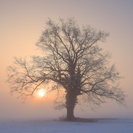 Morning haze by Janez Šturm - Nature Up Close Trees & Bushes ( haze, foggy, tree, snow, sunrise, sun )