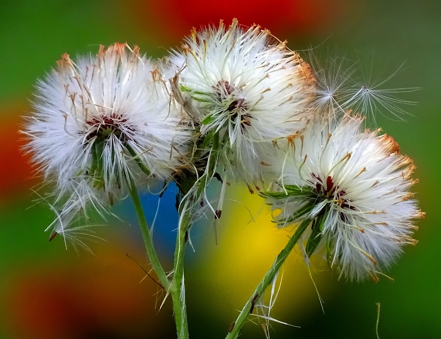 White glory  by Asif Bora - Flowers Flowers in the Wild (  )