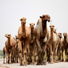 Camels by Naeem Mian Sadiq - Animals Other ( village, transport, movement, camels )