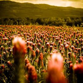 Red Clover Field by Daniel Tomanovič - Landscapes Prairies, Meadows & Fields