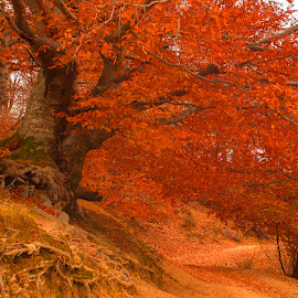 Autumn forest 13 by Costin Mugurel - Landscapes Forests ( red, nature, autumn, trees, forest )