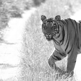 Tiger by Saumitra Shukla - Black & White Animals ( nature, animals, black and white, beauty in nature, tiger, travel, tiger lily, wildlife )