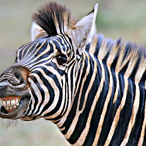 The grin by Pieter J de Villiers - Animals Other ( mammals, animals, kruger national park, other, south africa, zebra, africa, teeth, grin )