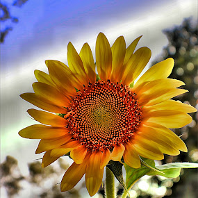 Sunflower in the Evening by Bruce Newman - Flowers Single Flower ( nature, single flower, composition, sunflower, vivid colors, evening light,  )