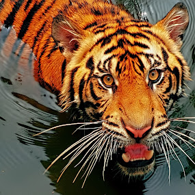 Tiger Sumatera 2 by Ubayoedin As Syam - Animals Lions, Tigers & Big Cats (  )