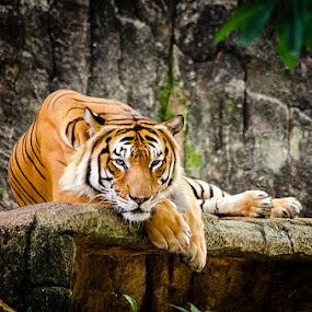 Malayan Tiger by Fitria Ramli - Animals Lions, Tigers & Big Cats ( beast, wild, animals, malayan tiger, tiger, jungle,  )