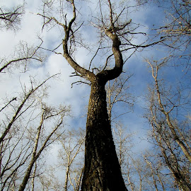 Giant Slingshot by Linda Doerr - Nature Up Close Trees & Bushes ( trees, forest, branches, tall, up )