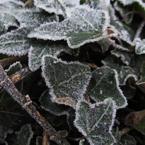 Icy Ivy by Paul Rayney - Nature Up Close Leaves & Grasses ( winter, ice, frost, ivy )