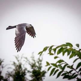 Flying Kite by Jim Hendrickson - Novices Only Wildlife ( bird, flying, mississippi kite, nature, kite, wildlife )