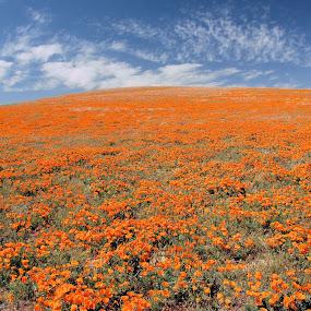 California Poppy Field by Jim Schlett - Landscapes Prairies, Meadows & Fields ( orange, ca, sky, colorful, california, poppies, poppy, flowers, fields,  )