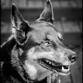 Shepherd by Dave Lipchen - Black & White Animals ( shepherd )