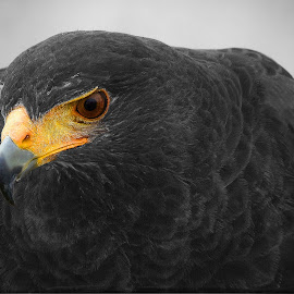 Spotter by Marco Bertamé - Digital Art Animals ( bird, bird of prey, spotting, selective color, watching, one eye, beak, harris hawk, feathers, feathered )