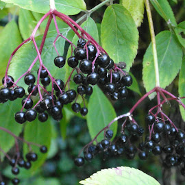 Berry Good by Gareth Evans BA Hons - Nature Up Close Other plants