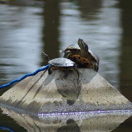 Turtles by Lynn Andrasko - Animals Amphibians