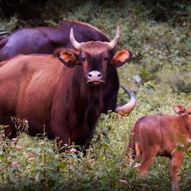 Gaur by Shalini Jai - Novices Only Wildlife