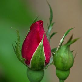 Hey Buddy by Judy Florio - Flowers Flower Buds ( red, bud, spring, macro, rosebud, rose, flower,  )