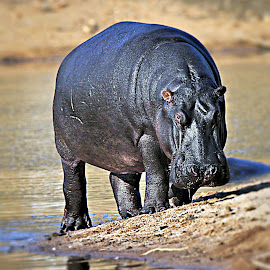 An Angry Hippo by Pieter J de Villiers - Animals Other ( water, mammals, hippo, animals, south africa, mabalingwe game reserve, angry, africa )