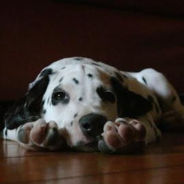 Spotty devil dog by Lena Mvv - Animals - Dogs Puppies