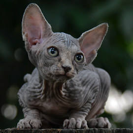 Sphynx by Cacang Effendi - Animals - Cats Portraits