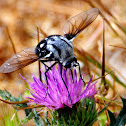 Bee fly; Mosca abeja