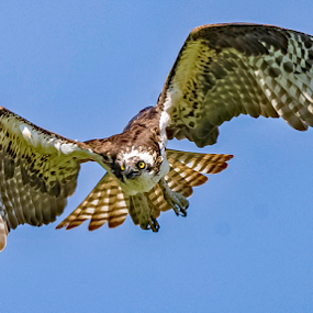 by Ioannis Alexander - Animals Birds ( flying, flight, wings, wildlife, raptor, osprey,  )