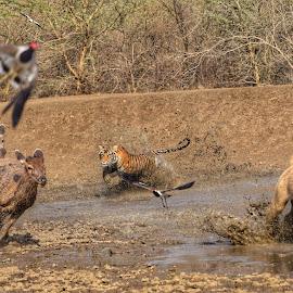 Sub Adult male chasing deers by Kunwar Shantanu Singh - Animals - Cats Portraits ( #tigers #ranthambhorenationalpark #tigersofindia #cats #wildlife )