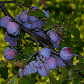 Plums orchard by Eugen Opritescu - Food & Drink Fruits & Vegetables ( plant, fruit, nutrient, purple, culinary, delicious, backdrop, berry, organic, tree, bio, blue, autumn, fall, grow, dark, ripe, healthy, garden, natural, blackthorn, design, black, closeup, gourmet )