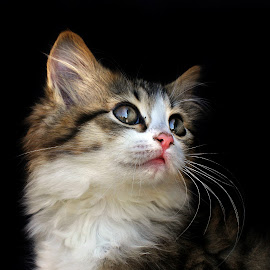 Little Missy by Lize Hill - Animals - Cats Kittens