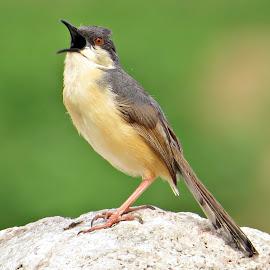 Ashy prinia calling out aloud by Kuldeep Deshpande - Animals Birds ( bird, ashy, prinia, calling, animal )