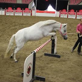 Miniature Horse show jumping by HAPPY media4U - Animals Horses ( miniature horse, jumping, horse, horse show, animal )