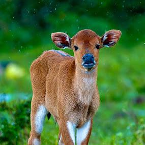 calf rain water play by Franshendrik P   Tambunan - Animals Other