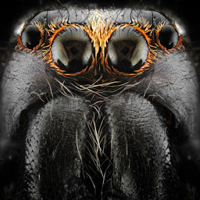 oOOo by Donald Jusa - Animals Insects & Spiders ( macro, spiders, frontal, focus, nikon, insects, flies, closeup, eyes )