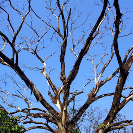 Leafless Tree by Atreyee Sengupta - Uncategorized All Uncategorized (  )