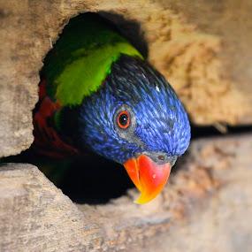 Cak..... by Sharulfizam Adam - Animals Birds