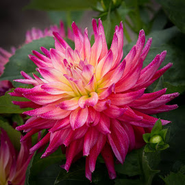 Kissed By Dew by Janet Marsh - Flowers Single Flower ( pink, dahlia, dew )