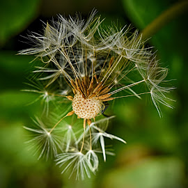 Ready For Take-Off ! by Marco Bertamé - Nature Up Close Other plants ( dandelion, seed )