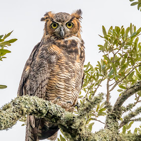 Great Horned Owl by Shutter Bay Photography - Animals Birds ( bird of prey, nature, birds, owls, great horned owl )