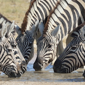 Eyes and Stripes by Neal Cooper - Animals Other Mammals ( drinking, heads, white, zebra, black, zebras )