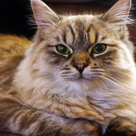 Pretty Kitty by Ingrid Anderson-Riley - Animals - Cats Portraits (  )