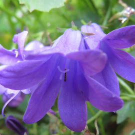 Purple Campanula by Angie Keverne - Novices Only Flowers & Plants ( plant, purple, campanula, flowers, garden )